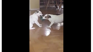 Dogs Engage In A Lazy Game Of Tug-Of-War
