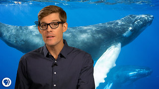 S1 Ep30: Incredible Tails Of Amazing Whales! - Video
