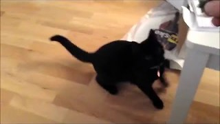 Cat Tries Playing Fetch