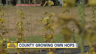 Tampa Bay's beer businesses buzzing about growing hops in Florida - Video