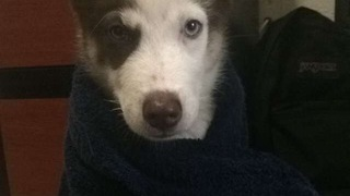 Husky hates shower, howls in protest! - Video