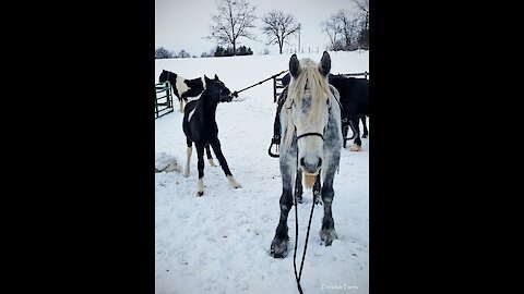 Stubborn foal learning how to pony and does great