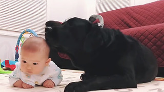 This Gentle Labrador Proves Dogs Can Be Amazing Babysitters