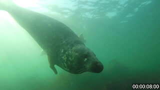 Video Captures Gray Seals Clapping Underwater To Communicate