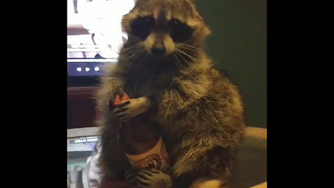 Smart raccoon knows which direction to twist bottle cap