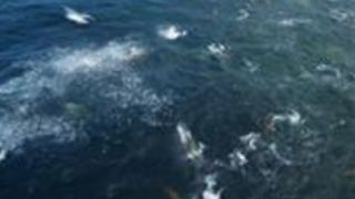 Drone Footage Captures Humpback Whales and Sea Lions Feeding in Monterey, California - Video