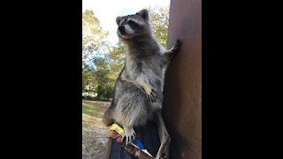 Try not to laugh Funny raccoon