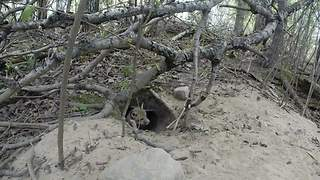 Tiny Fox Is Frightened By The Hidden GoPro - Video