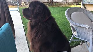 Little girl learns to train her giant Newfoundland dog - Video