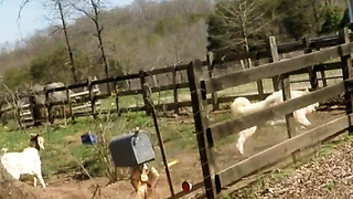 Goat joins large dog in chasing cyclists - Video
