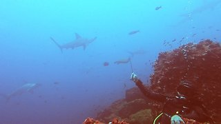 Divers wait in the rocks while hammerhead sharks circle above them