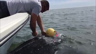 Leatherback Sea Turtle saved from crab trap by JSO Officers - Video