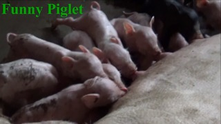 Funny Piglets - Breastfeeding Time - Video