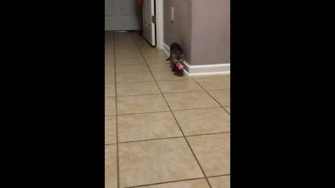 A Cat Who Just Loves To Fetch