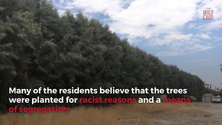 "California To Remove ""Racist"" Row Of Trees On Golf Course - Video"