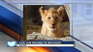 Lion cub moving to Michigan - Video