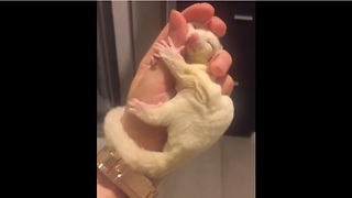 Sugar glider preciously naps in owner's hand