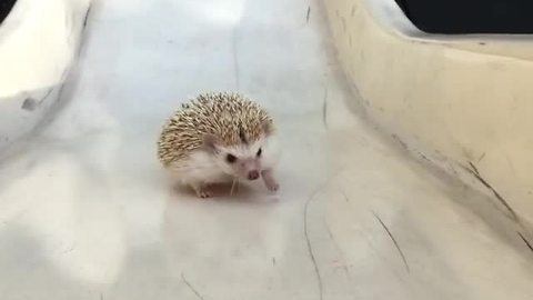 Hedgehog tries walking up slide, fails adorably