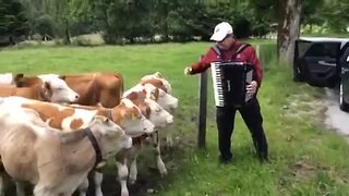 Grazing Cows Rush To Listen To Accordion Music - Video