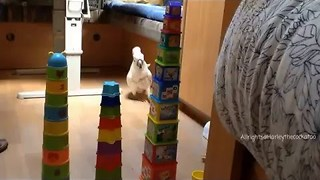 Funny Cockatoo Attacks Plastic cup Towers - Video