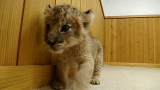 Newborn Baby Lion Cubs - Video
