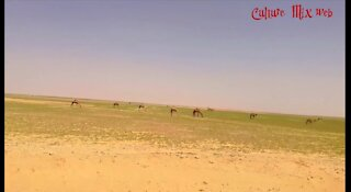 You often come across camels on the way to the desert, really beautiful scenery