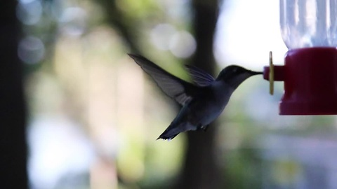 Hummingbirds in flight: HD footage