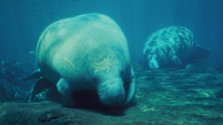The Manatee, An Incredibly Majestic Creature, Calls The State Of Florida Home - Video