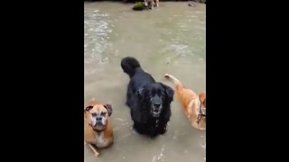 Bulldog gives synchronized swim team a lesson - Video