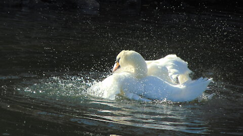 White swan grooming gracefully