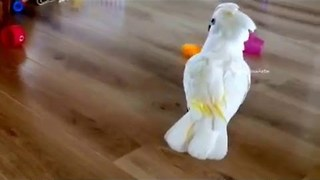 Cockatoo Tries to Spin Cups Around on Floor - Video