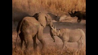 Elephant Fights Rhinos
