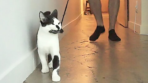 Hilarious cat demonstrates how to walk your human