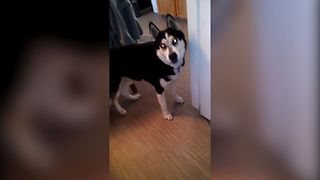 11 Huskies Who Love To Sing - Video