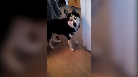 11 Huskies Who Love To Sing
