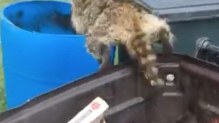 Daredevil raccoon leaps from one bin to another