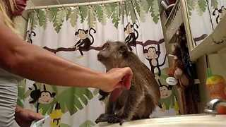 Monkey Is Insistent About Getting Her Diaper on - Video