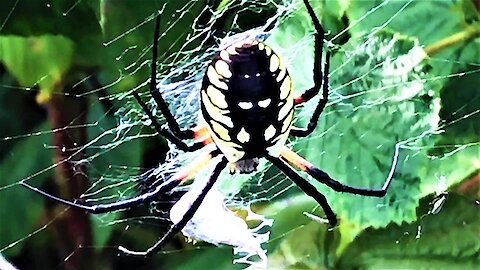 Husband discovers gigantic spider in wife's raspberry patch