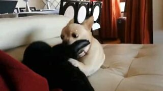 Chihuahua goes crazy for his owner's new slippers