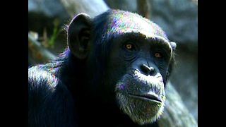 Mexican Chimp Speed Dating - Video