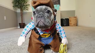 French Bulldog puppy dresses up like a cowboy - Video