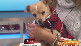 Pick Of The Litter: Suri 12/22/16 - Video