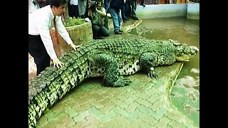 World's Largest Crocodile - Video