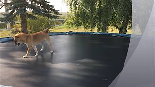 Shiba Inu Jumps For Joy On A Backyard Trampoline - Video