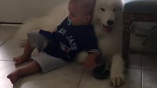 Baby and Samoyed preciously cuddle together
