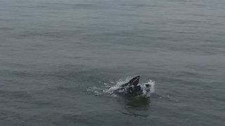 Aerial View of Whale Frolicking Near Long Island - Video