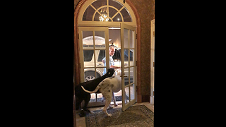 Two Great Danes Happily Greet Owner and Bring in Groceries  - Video