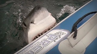 Shark Attack: Great White Attacks Boat - Video