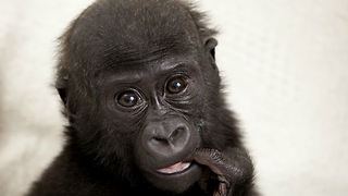 Tiny Baby Gorilla - Video