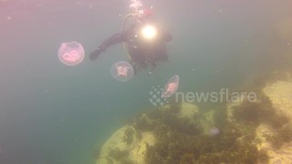 Moon jellyfish spotted in Cornwall - Video